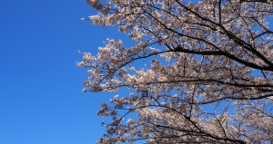 Sakura-in-blue-sky
